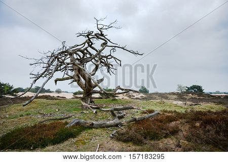 old special shaped dramatic dead tree in a sand-like nature Drenthe