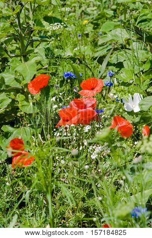 Flowering corn poppies (Papaver rhoeas) and cornflowers