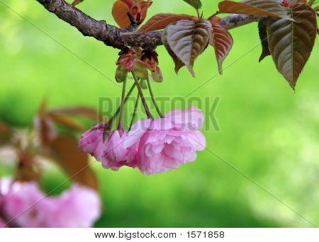Cherry Blossom Hangover