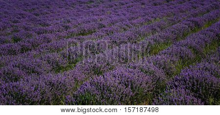 Lavender field at the end of June, near the town of Kazanlak, Bulgaria