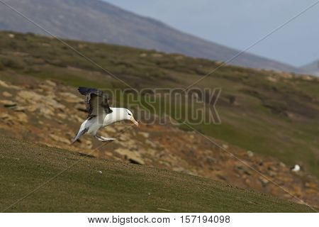 Black-browed Albatross (Thalassarche melanophrys) coming in to land on the cliffs of Saunders Island in the Falkland Islands.