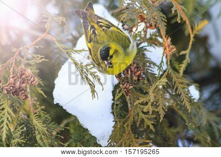 Eurasian siskin, sitting on a snow-covered fir branches with sunny hotspot, forest birds, birds in forest birds on fir