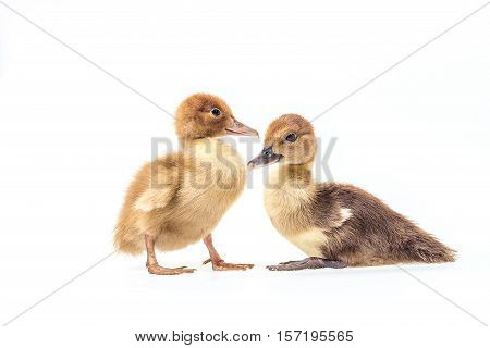 Little gray ducklings isolated on white background.