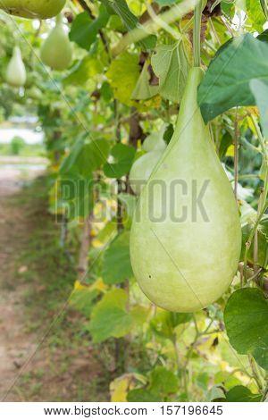 Wax gourd in green vegetable garden / wax gourd in Plantation