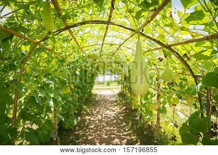 Wax gourd in green vegetable garden / wax gourd  in Plantation