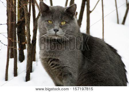 Winter. A ruffled big fat grey cat sitting in the snow. Cat -closeup.