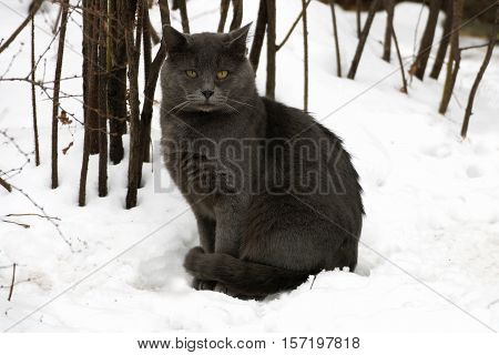 Winter. A ruffled big fat grey cat sitting in the snow.
