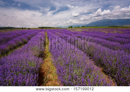 Lavender field at the end of June, near Kazanlak, Bulgaria