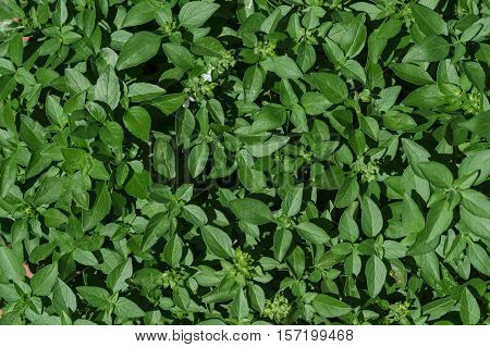 Small basil aromatic plant leaves creating a green background texture