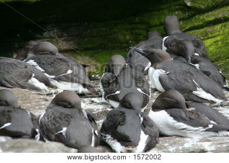 Common Murre, Flock
