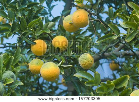 Poncirus Trifoliata. Japanese Bitter Orange. Citrus Trifoliata Fruit Tree. Hardy Orange. Trifoliate Orange. Citrus Tree. Chinese Bitter Orange.
