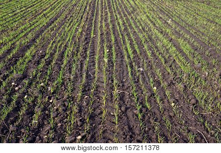 Young sprouts of winter wheat field in November