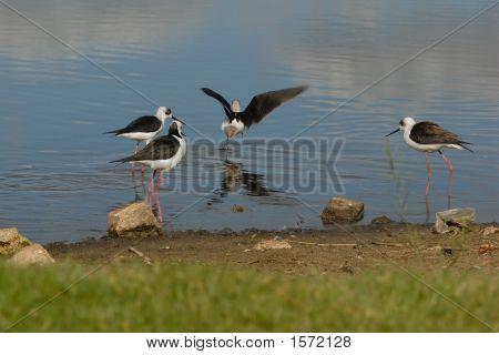 Black Wings Stilts