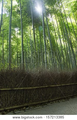 Detail of the bamboo forest in Arashiyama, Kyoto