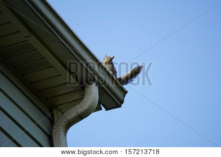 An eastern gray squirrel (Sciurus carolinensis) stands on the gutter of a house in Joliet, Illinois.