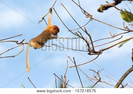 Young Proboscis monkey climbing tree branches in the wild Borneo jungle