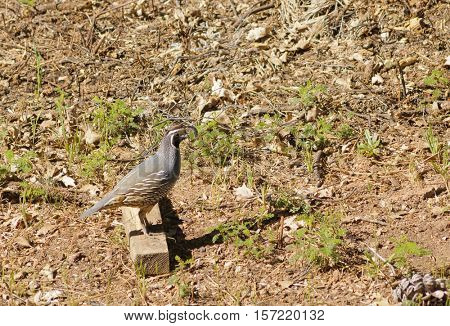 California Valley Quail watching for danger