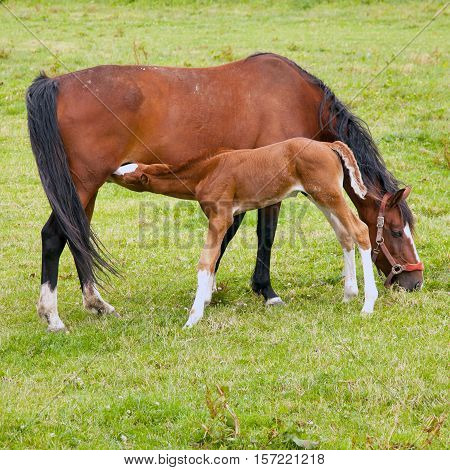 brown foal drinks from grazing mare in green grassy meadow