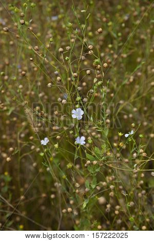 flax seeds and flowers (Linum) on field