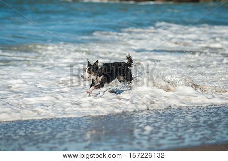 Energetic black and white Australian Shepard dog running through the beach surf.