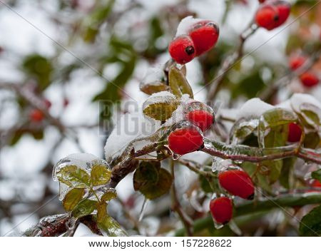 The first kiss of winter -  red berries ... Freezing rain, natural disasters