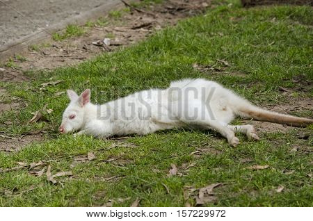 the white albino wallaby is stretched out on the grass catching the sun