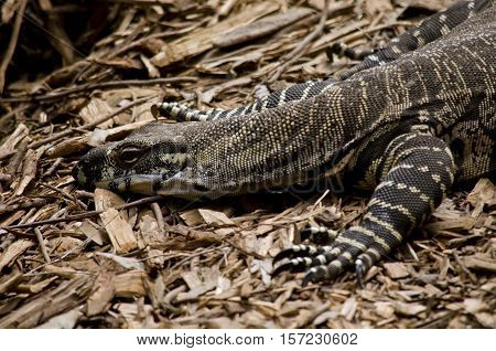 this is a close up of a large goanna