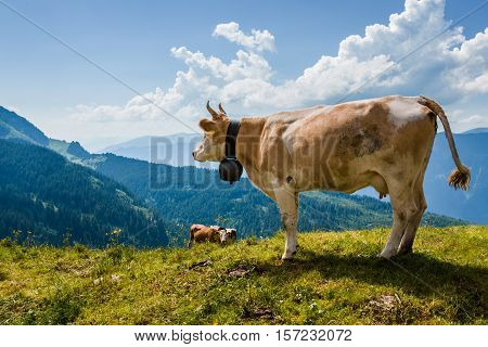 Cow Overlooking Alps In Switzerland Near Bachsee