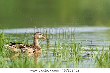 Duck Swimming on The Lake, Near The Reed