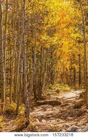 a trail through an aspen grove in fall in Wyoming