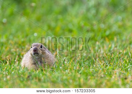 Chubby Ground Squirrel on a Short Grassy Meadow