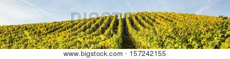 Picture Of Vineyards At The Moselle, Germany