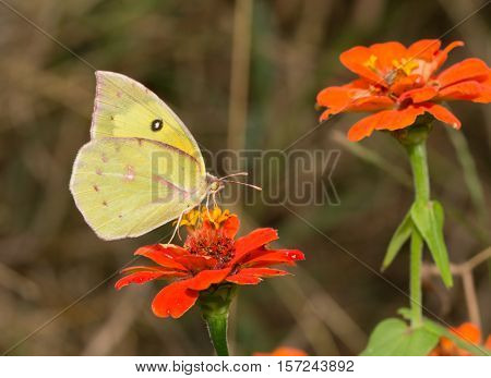 Colias cesonia, Southern Dogface butterfly feeding on an orange Zinnia flower