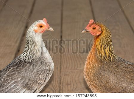 Two beautiful bantam hens in gold and silver, facing each other