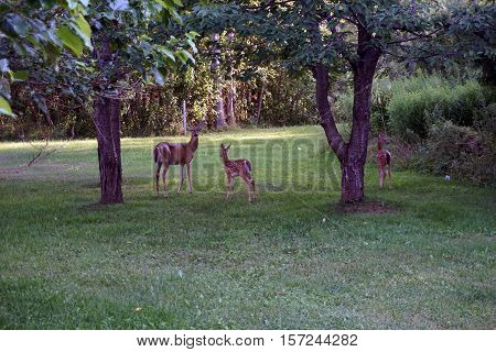 A whitetail deer (Odocoileus virginianus) doe and her two fawns in the back yard of a home in Harbor Springs, Michigan during August.