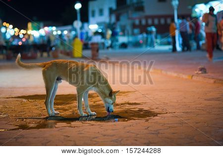 Dog quenches thirst tropical night. Egypt. Dahab.
