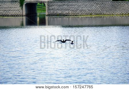 Two double crested cormorants (Phalacrocorax auritus) swim in a small lake in Joliet, Illinois during May.