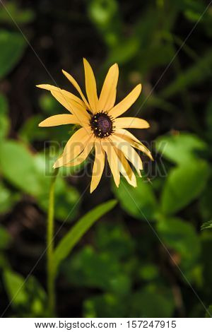 Single black-eyed susan growing wild in the Colorado mountains