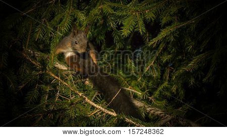 A squirrel is sitting in a spruce tree and is showing off his long tail.