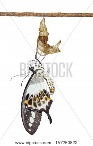 Isolated Banded Swallowtail Butterfly (papilio Demolion) Emerging From Chrysalis