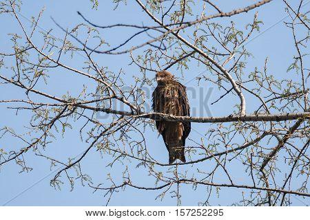 The female black kite sitting on a tree branch near its nest