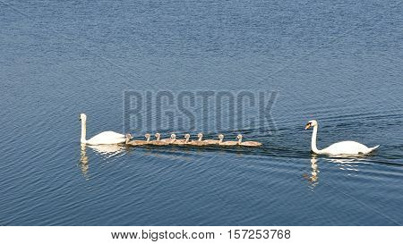 happy family pf swans with 8 chicks