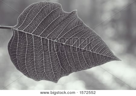 Pointsettia (Euphorbia Pulchemma)