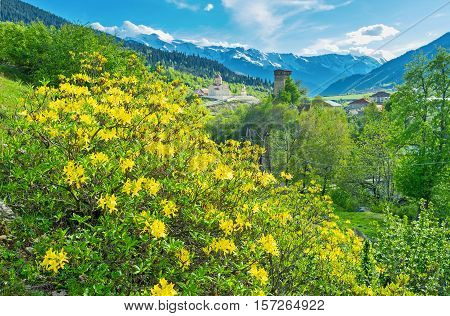 The view on the picturesque landscape of Upper Svaneti with the blooming shrub of forsythia on the foreground Mestia Georgia.