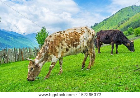 The cows are the basic agricultural animals in livestock of Upper Svaneti Georgia.