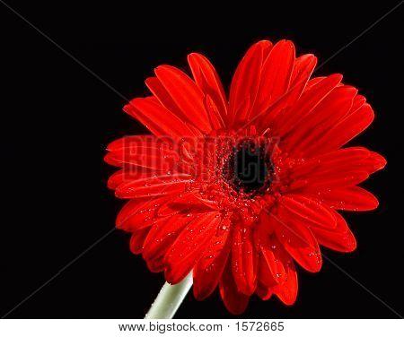 Gerbera Daisy (Gerbera)