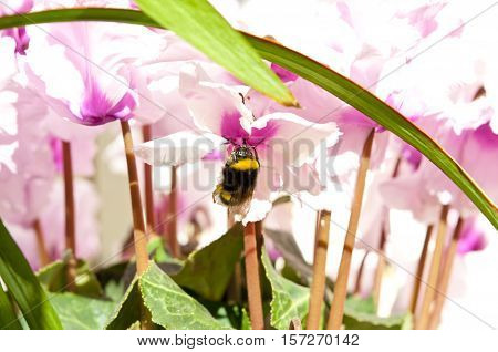 Close up of a Bumblebee sucking on a Cyclamen flower