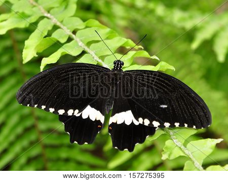 Black butterfly Papilio polytes romulus or Indian Common Mormon, the Papilionidae family
