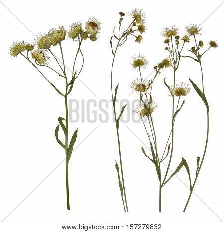 Pressed Dried branch of chamomile drug. Herbarium of wild flowers