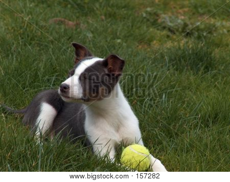 Puppy In Grass With Ball